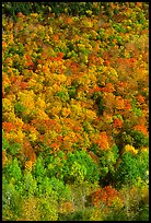 Hillside covered with trees in fall color, Green Mountains. Vermont, New England, USA