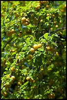 Branches with cherry plums. Hells Canyon National Recreation Area, Idaho and Oregon, USA