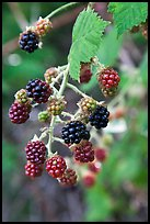 Close-up of blackberries. Hells Canyon National Recreation Area, Idaho and Oregon, USA ( color)