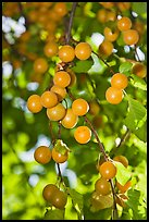 Close-up of cherry plums. Hells Canyon National Recreation Area, Idaho and Oregon, USA