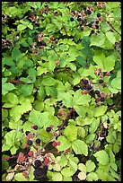 Blackberry bush. Hells Canyon National Recreation Area, Idaho and Oregon, USA ( color)