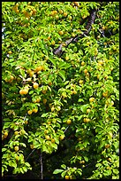 Branches of plum tree loaded with fruits. Hells Canyon National Recreation Area, Idaho and Oregon, USA
