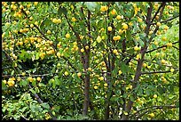 Plum tree with many fruits. Hells Canyon National Recreation Area, Idaho and Oregon, USA