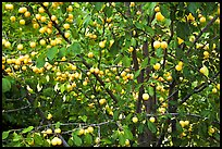 Abundance of ripe plums on tree. Hells Canyon National Recreation Area, Idaho and Oregon, USA