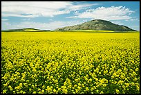 Field of yellow colza flowers and hill. Idaho, USA ( color)