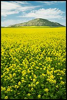 Field of colza and hill. Idaho, USA ( color)