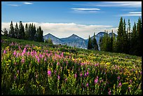 Late summer wildflowers and mountains, Face Trail. Jedediah Smith Wilderness,  Caribou-Targhee National Forest, Idaho, USA ( color)