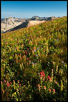 Multicolored wildflowers near Table Mountain. Jedediah Smith Wilderness,  Caribou-Targhee National Forest, Idaho, USA ( color)