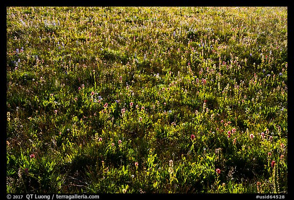 Backlit wildflowers near Table Mountain. Jedediah Smith Wilderness,  Caribou-Targhee National Forest, Idaho, USA (color)