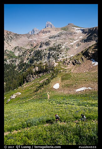 Hikers in wildflowers meadows, Huckleberry Trail. Jedediah Smith Wilderness,  Caribou-Targhee National Forest, Idaho, USA (color)