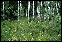 Wildflowers and aspen. Jedediah Smith Wilderness,  Caribou-Targhee National Forest, Idaho, USA ( color)