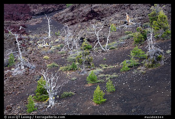 Tree skeltons and sapplings in North Crater cinder cone. Craters of the Moon National Monument and Preserve, Idaho, USA (color)