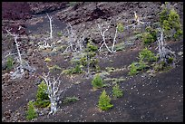 Tree skeltons and sapplings in North Crater cinder cone. Craters of the Moon National Monument and Preserve, Idaho, USA ( )