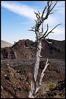 Tree skeleton and North Crater. Craters of the Moon National Monument and Preserve, Idaho, USA ( color)