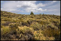 Sage and pines. Craters of the Moon National Monument and Preserve, Idaho, USA ( )