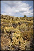Sagebrush and pine tree. Craters of the Moon National Monument and Preserve, Idaho, USA ( )
