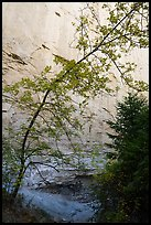 Tree and sandstone walls, Neat Coulee. Upper Missouri River Breaks National Monument, Montana, USA ( color)