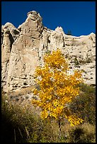 Tree in fall foliage in Neat Coulee canyon. Upper Missouri River Breaks National Monument, Montana, USA ( color)