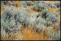 Close up of grasses and shrubs. Upper Missouri River Breaks National Monument, Montana, USA ( color)