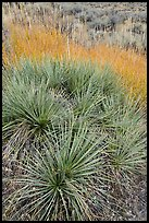 Close up of succulent plant and grasses. Upper Missouri River Breaks National Monument, Montana, USA ( color)