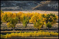 Cottonwood trees in autumn foliage. Upper Missouri River Breaks National Monument, Montana, USA ( color)