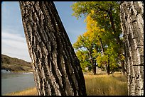 Cottonwood tree trunks. Upper Missouri River Breaks National Monument, Montana, USA ( color)