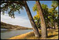 Mature cottonwood trees. Upper Missouri River Breaks National Monument, Montana, USA ( color)