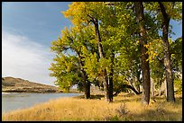 Grove of cottonwood trees in autumn. Upper Missouri River Breaks National Monument, Montana, USA ( color)