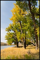 Grasses and cottonwood trees in the fall. Upper Missouri River Breaks National Monument, Montana, USA ( color)