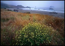 Flowers, grasses, and off-shore rocks in the fog. Oregon, USA ( color)