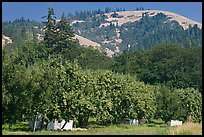 Fruit orchard and hill. Oregon, USA ( color)