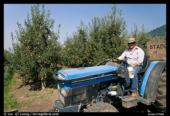 Man on tractor in orchard. Oregon, USA (color)