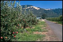 Apple orchard and road. Oregon, USA ( color)