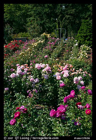 Portland Rose Garden. Portland, Oregon, USA
