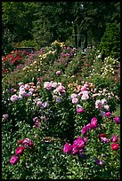 Portland Rose Garden. Portland, Oregon, USA (color)