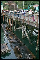 Tourists looking at Sea Lions. Newport, Oregon, USA