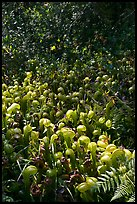 Pictures of Carnivorous Plants