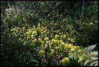 Dense patch of cobra-lilies (Californica Darlingtonia). Oregon, USA (color)