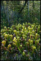 Cobra orchids (Californica Darlingtonia) and forest. Oregon, USA (color)