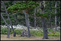 Trees and wildflowers, Shore Acres. Oregon, USA (color)