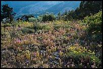 Siskiyou mountain wildflower carpet. Cascade Siskiyou National Monument, Oregon, USA ( )
