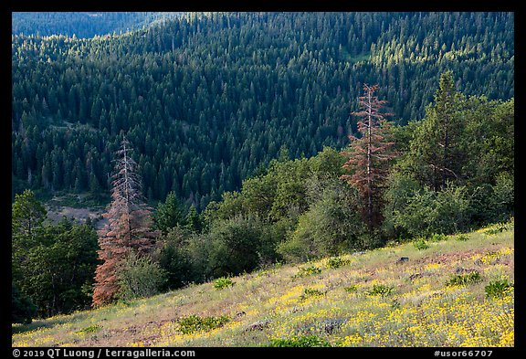 Wildflowers and conifer forest. Cascade Siskiyou National Monument, Oregon, USA (color)