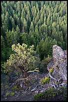Outcrop, wildflowers, and mixed conifer forest. Cascade Siskiyou National Monument, Oregon, USA ( )