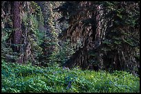 Wildflowers in lush forest near Grizzly Peak. Cascade Siskiyou National Monument, Oregon, USA ( )