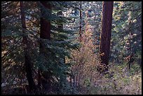 Understory plants with autumn foliage in Douglas fir forest, Green Springs Mountain. Cascade Siskiyou National Monument, Oregon, USA ( )