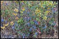 Oregon Grapes in autumn. Cascade Siskiyou National Monument, Oregon, USA ( )
