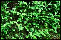 Ferns on wall, Columbia River Gorge. Columbia River Gorge, Oregon, USA (color)
