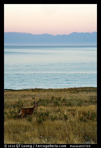 Deer in meadow at dawn, Catte Point, San Juan Island. Washington (color)