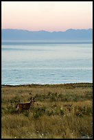 Deer in meadow at dawn, Catte Point, San Juan Island. Washington ( color)
