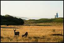 Deer, meadow and Cattle Point Lighthouse at sunrise, San Juan Island. Washington ( color)